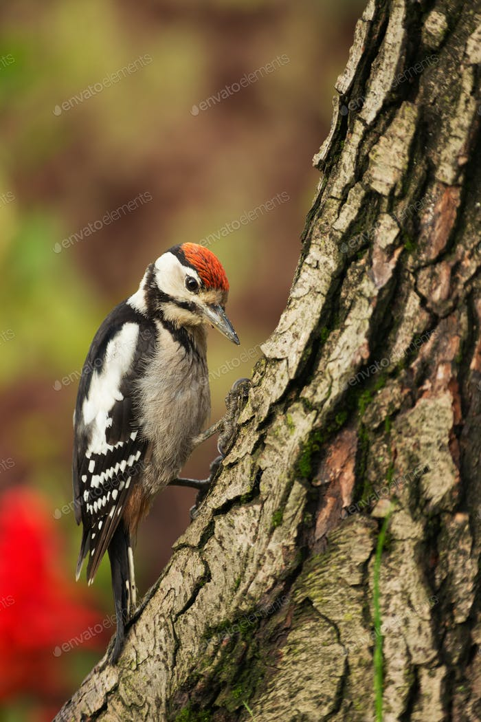 Young Greater Spotted Woodpecker looking for insects on a tree trunk