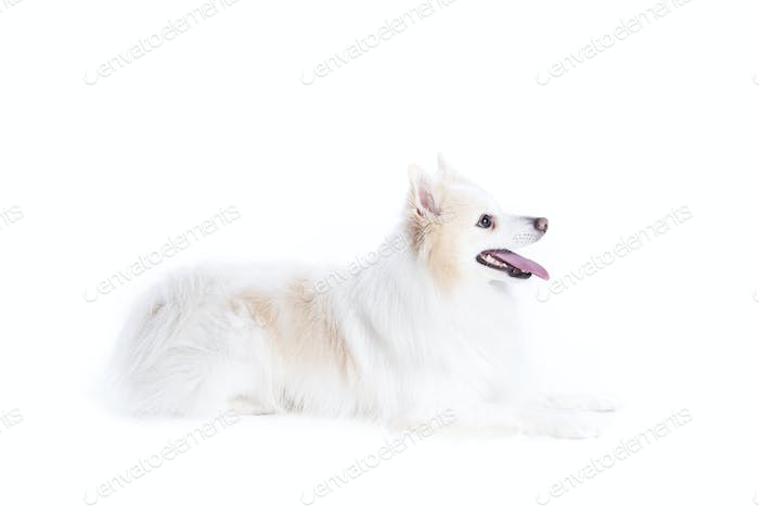 isolated portrait of a german spitz lying and in profile