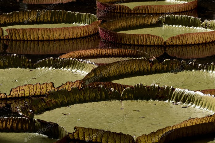 Victoria regia giant water lily pads