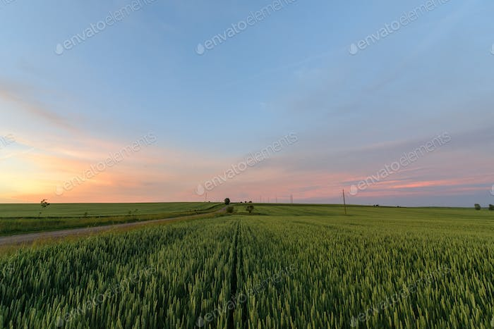A green wheat field goes over the horizon. Shot at sunset. Place for logo