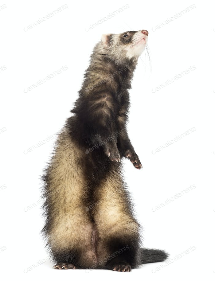Ferret, 9 months old, standing on hind legs and looking up in front of white background