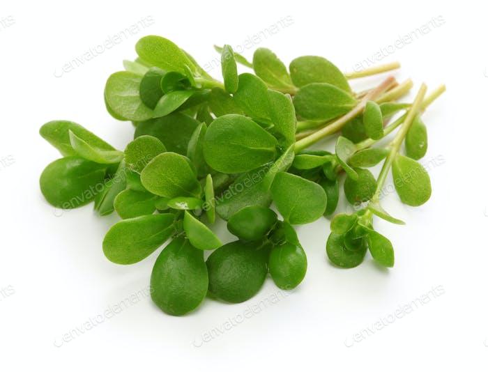 fresh purslane, edible weeds
