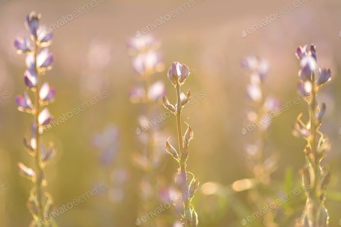 Field of lupine