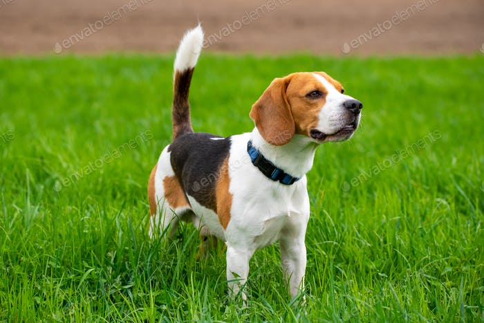 Dog Beagle on green grass field in a spring
