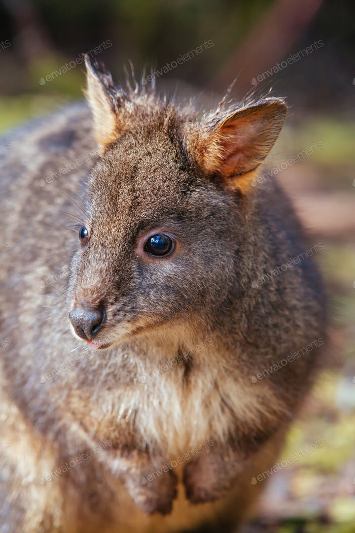 A Pademelon in Tasmania Australia
