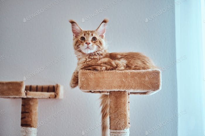 Adorable ginger maine coon kitten is lying on special cat's furniture near window