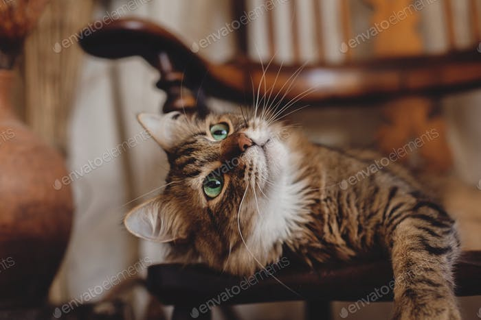 Beautiful tabby cat with curious look relaxing on wooden chair in bohemian room. Adorable Maine coon