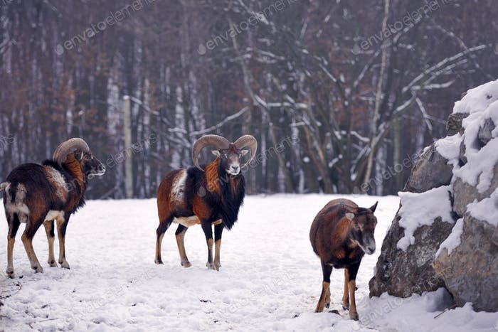 Mouflon Male (Ovis musimon) in the winter forest, horned animal