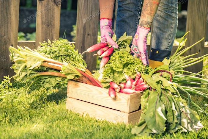 Gardener sorting vegetables in wooden box