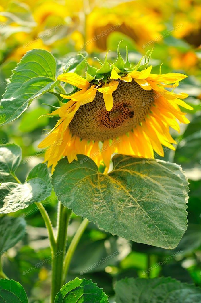 Blühende Sonnenblume in der Nähe. Sonnenblumenfeld
