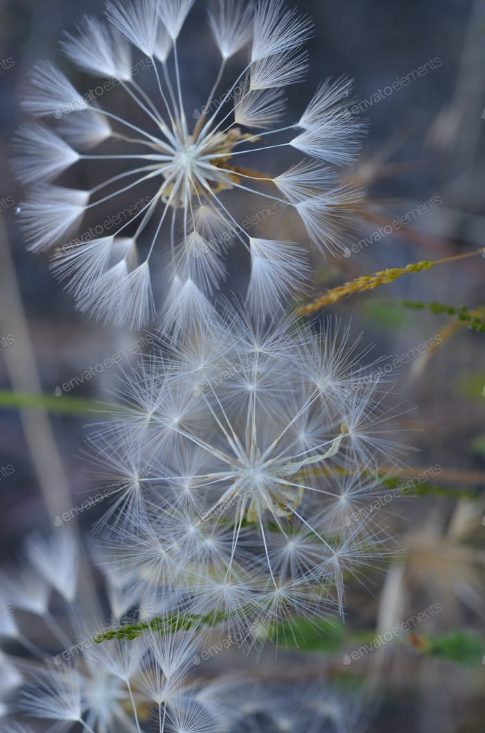 Three Wishes Dandelions