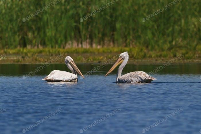 Dalmatians Pelicans (Pelecanus crispus)