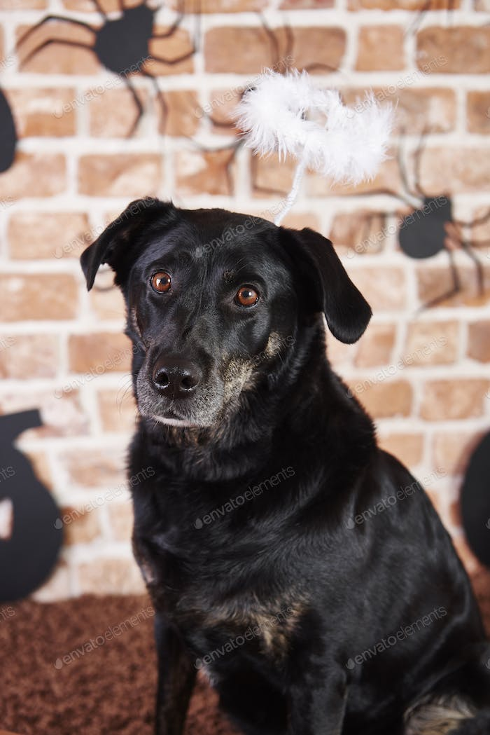 Portrait of black dog with halo at halloween