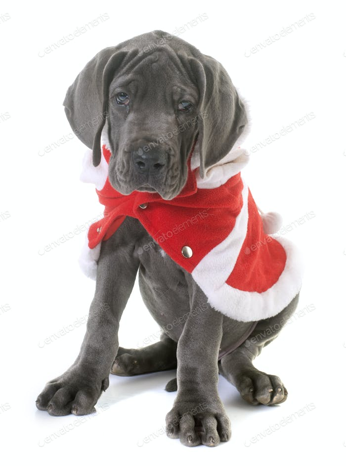 dressed puppy great dane