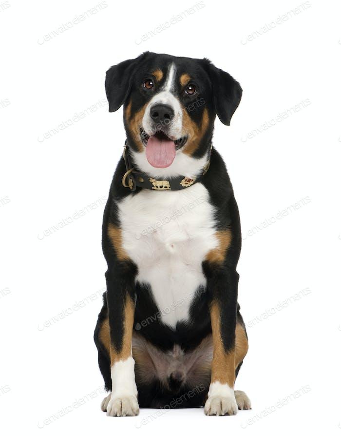 Entlebucher Mountain Dog ()
