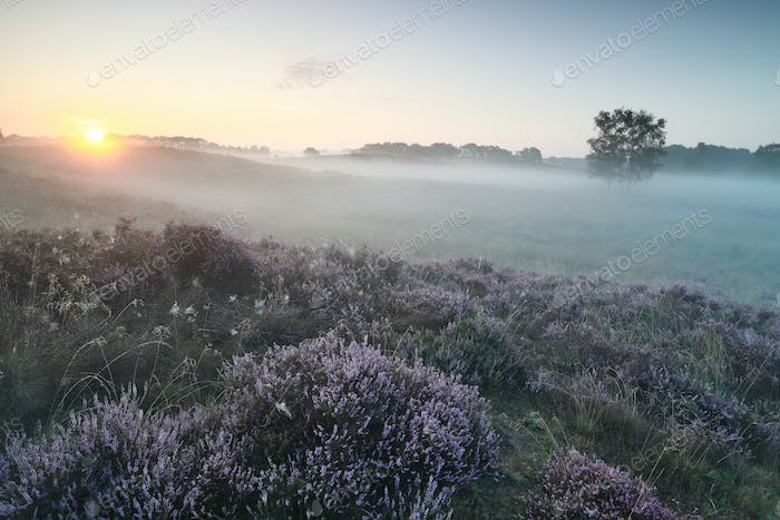 misty sunrise over pink heather flowers on hills