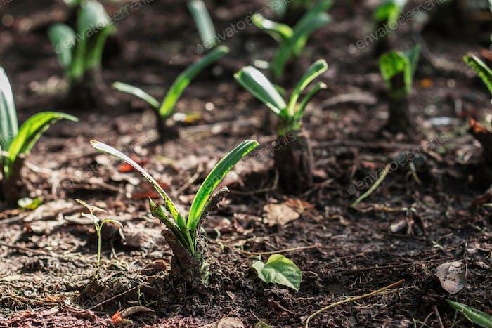 Pflanze wächst im Garten