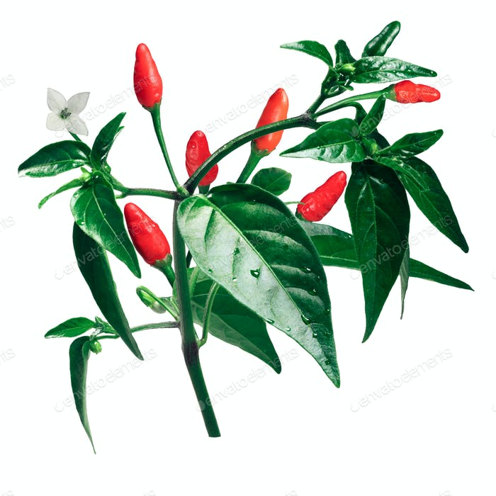 Pequin piquin chile pepper plant, paths