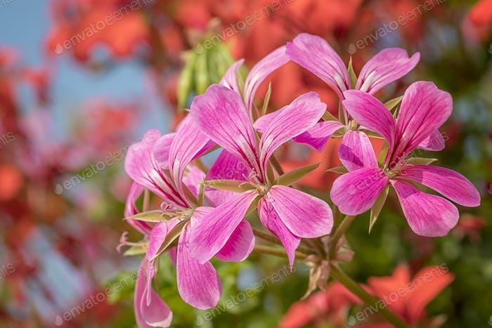 cascading geranium