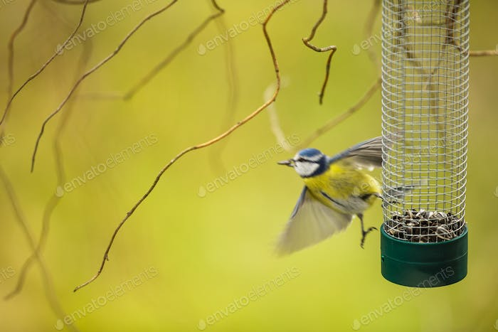 Tiny Blue tit flying away from a feeder in a garden