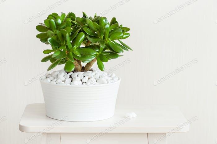 Zimmerpflanze Crassula Ovata Jade Pflanze Geldbaum im weißen Topf