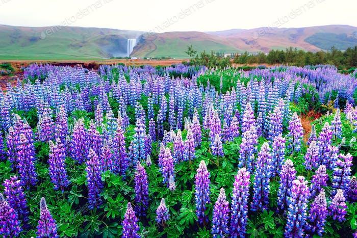 Campo de flores de altramuz