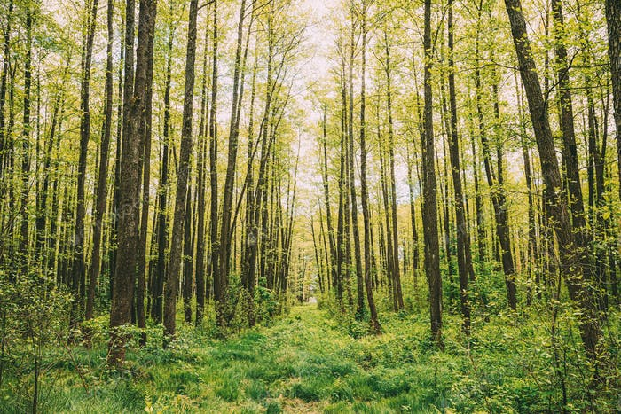 Fresh Spring Green Leaves Lush In Deciduous Forest. European Nature