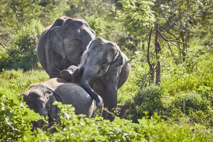 Wild elephants play in bush.