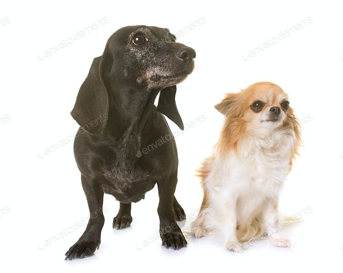 old black dachshund and chihuahua