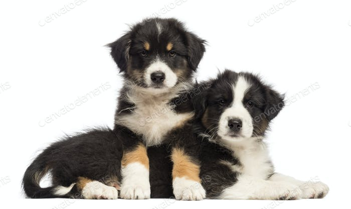 Australian Shepherd puppies lying on another, 2 months old, against white background