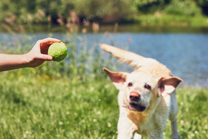 Dog running for tennis ball