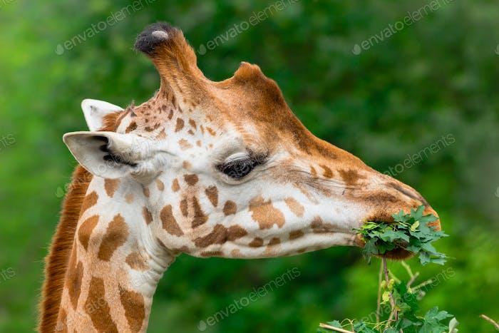 Giraffe kauen grünen Zweig