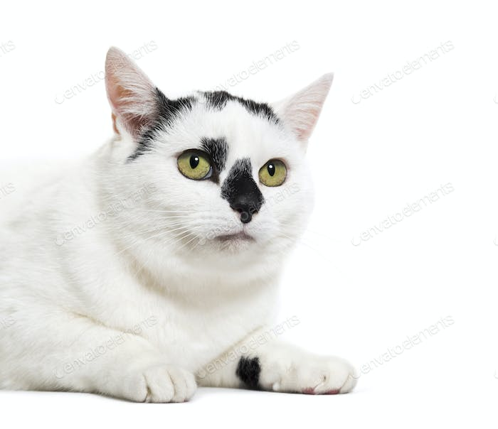 Black and white mixed-breed cat