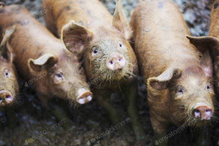 A group of pigs in a muddy field.