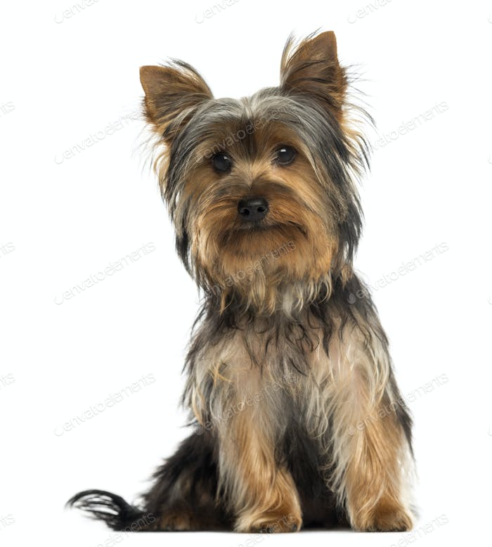 Yorkshire terrier sitting, looking at the camera, isolated on white