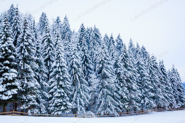 winter snow covered tree . Winter beautiful landscape. winter ba