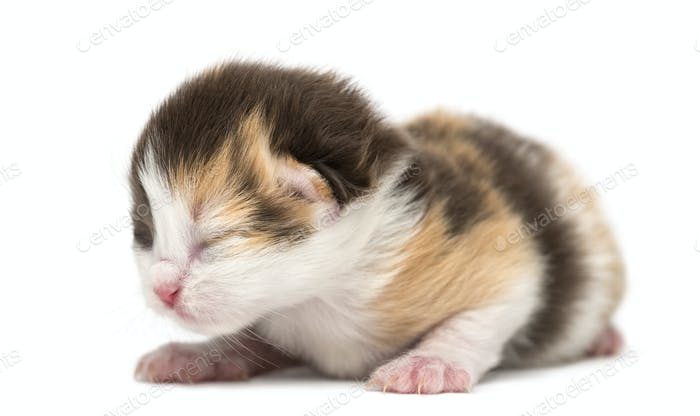 New-born Highland straight or fold kitten lying, 1 week old, isolated on white