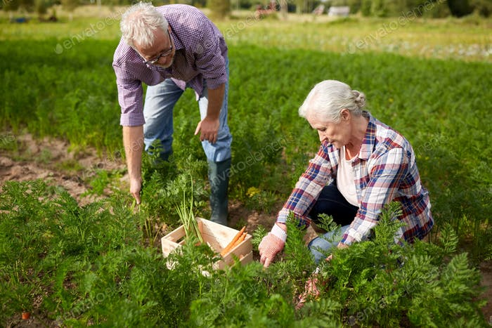 senior couple with box picking carrots on farm