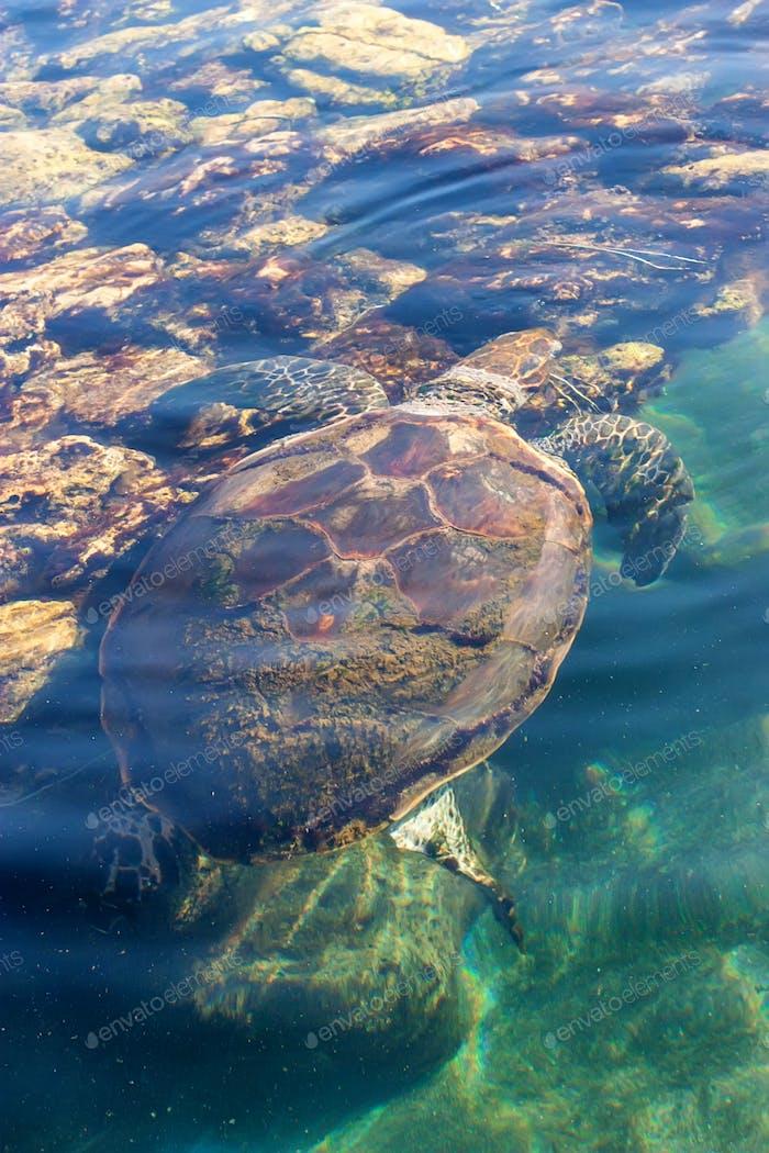 Beautiful sea turtle on surface