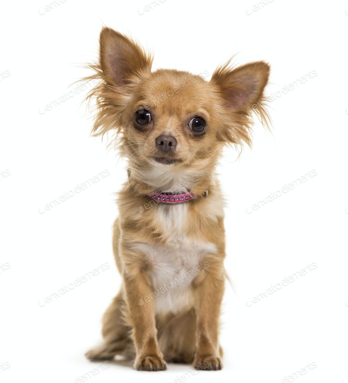 Chihuahua dog sitting, cut out
