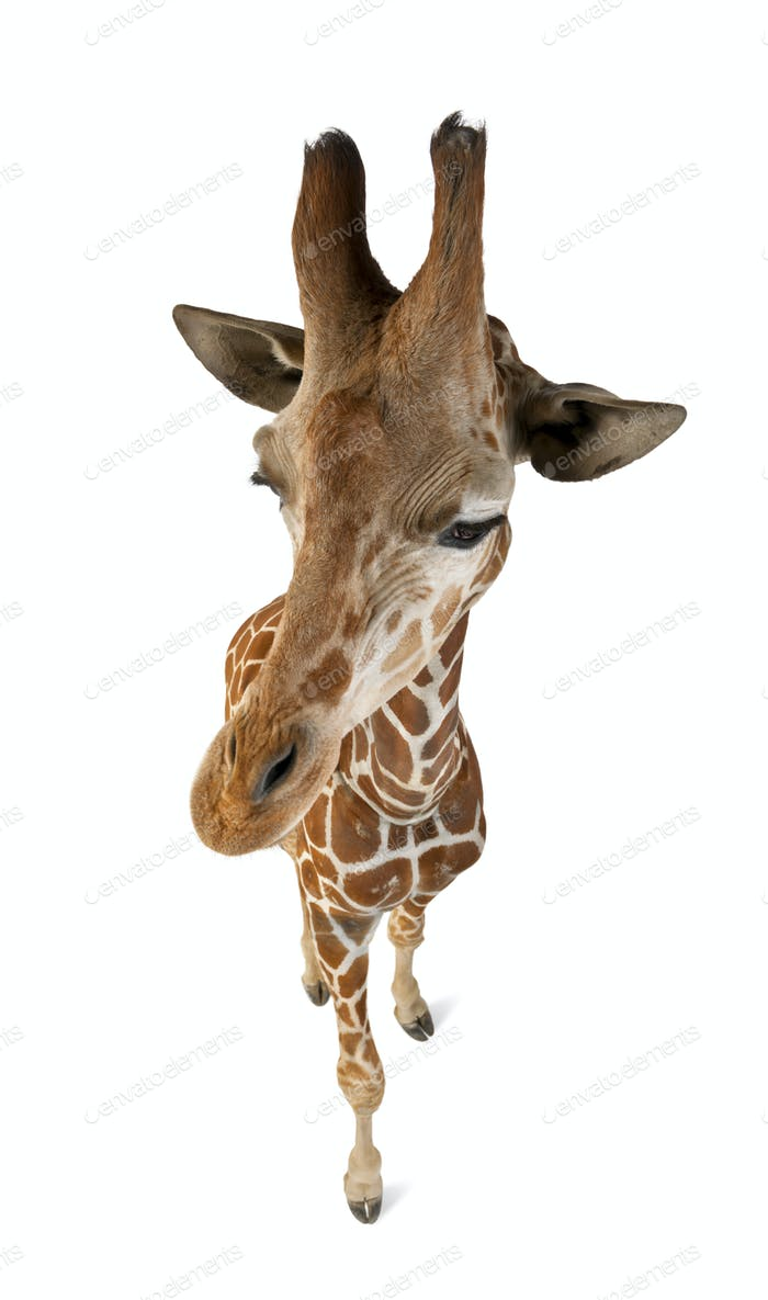 High angle view of Somali Giraffe, commonly known as Reticulated Giraffe
