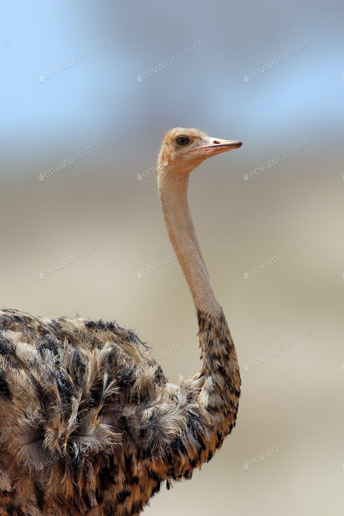 African ostrich, Masai Mara National Park, Kenya.