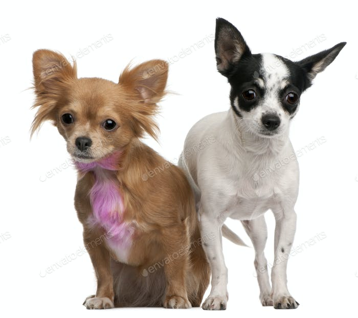 Chihuahuas, one with pink bow-tie fur, 18 months old, and 4 years old, in front of white background