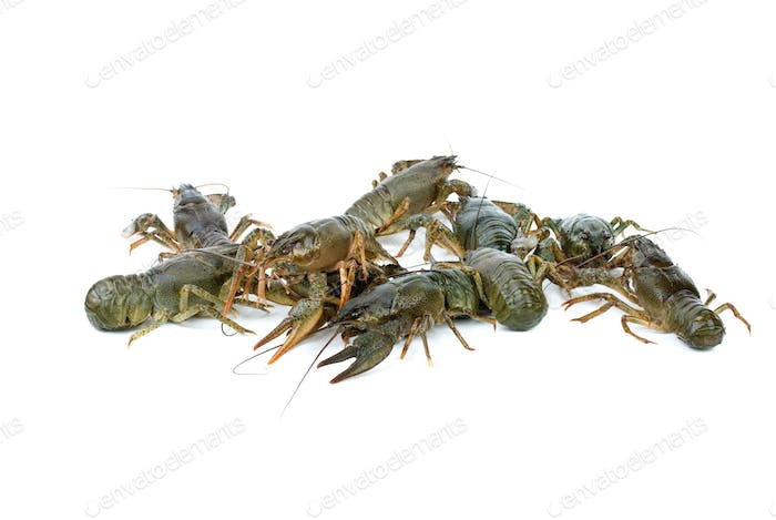 Few crawfishes