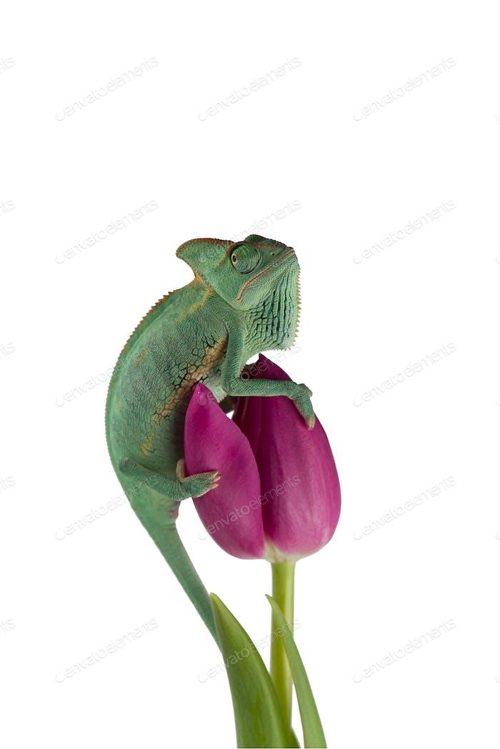 Veiled Chameleon on a flower isolated on white background