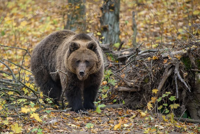 Close-up brown bear in autumn forest. Danger animal in nature habitat. Big mammal