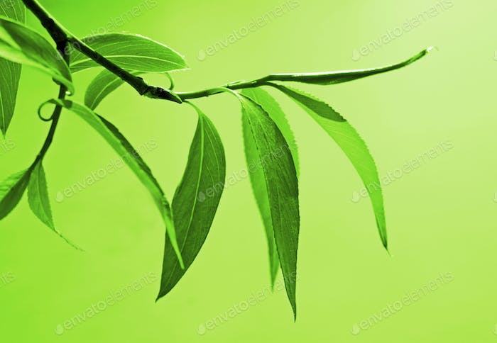 fresh green foliage