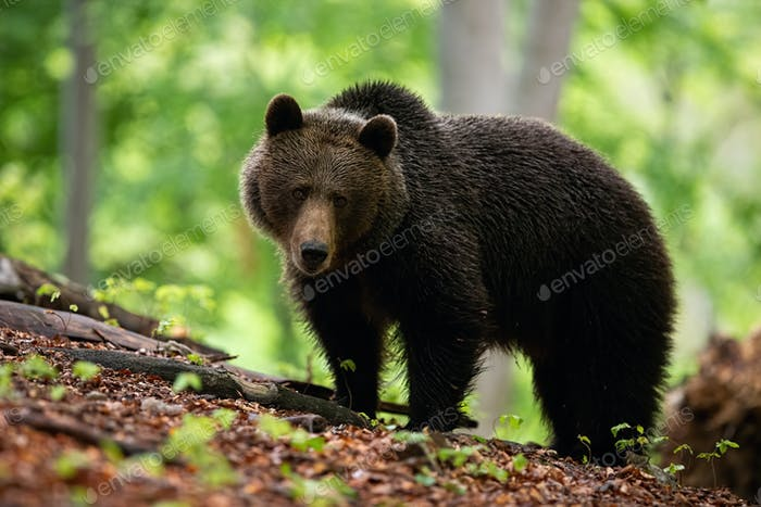 A shaggy female of brown bear with sad face on the forest hillock