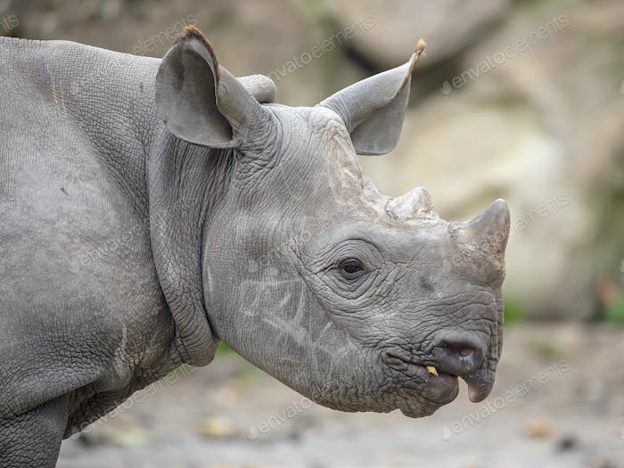 Portrait of grey Rhino youngster, close up