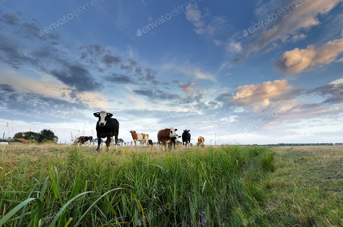 few cows on pasture at sunset